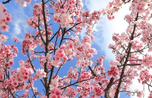 spring-cherry-blossom-tree-bloom